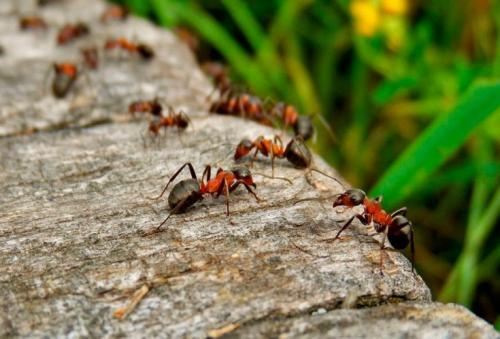 Борьба с муравьями на садовом участке. Откуда приходят муравьи