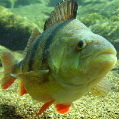 Пруд на даче для рыбы. Какую рыбу лучше выбрать для пруда?